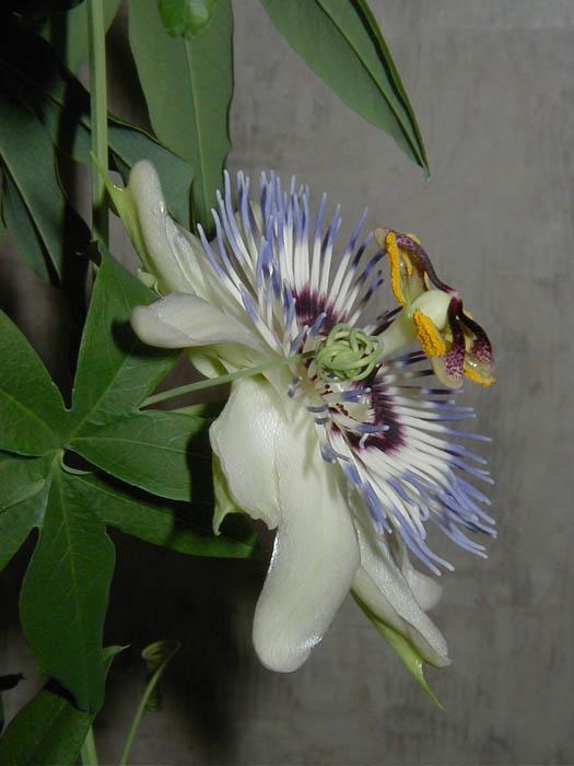 Комнатные цветы лианы